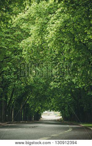 Empty road leading through dense chestnut alley fresh spring-time trees. Shallow depth of field