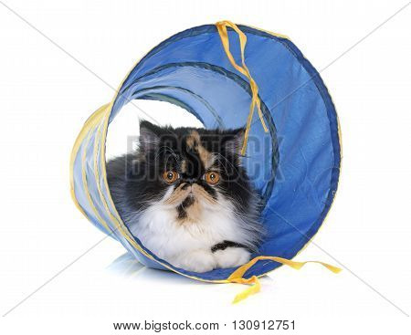 tricolor persian cat playing in front of white background