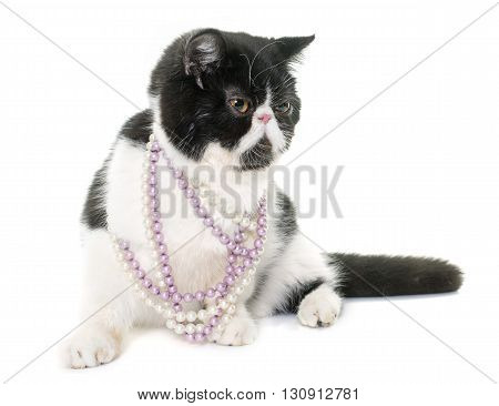 exotic shorthair cat in front of white background