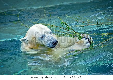 Polar bear in the water eating green branch with leaves at a zoo