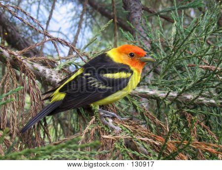Western Tanager Backyard Bird Closeup