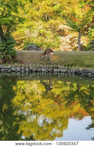Nara Japan - October 26: A deer eat grass in meadow in Nara Park