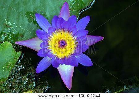 Violet lotus flower on the green leaves