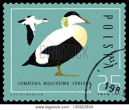 STAVROPOL RUSSIA - APRIL 30 2016: A Stamp sheet printed in Poland shows birds Somateria Mollissima Ducks circa 1985