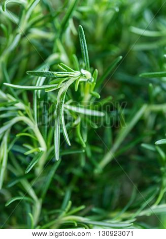 Rosemary (close-up shot; selective focus) on a vintage background