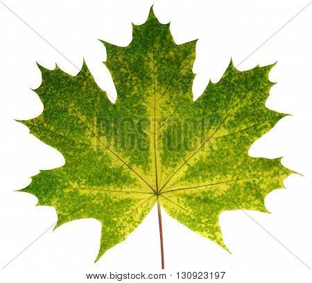 Autumn leaf maple on a white background isolated with clipping path. Nature. Closeup with no shadows. Macro. Indian summer. Green yellow orange red. Colorful fading nature. For design of cards and web sites about nature.