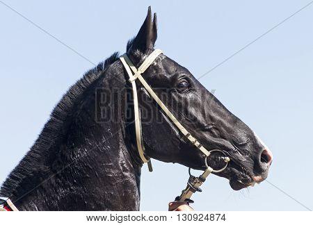 Portrait of beautiful raven horse in Pyatigorsk