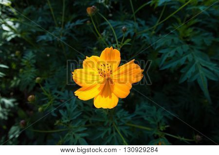 A garden cosmos flower (Cosmos bipinnatus), also called the Mexican aster