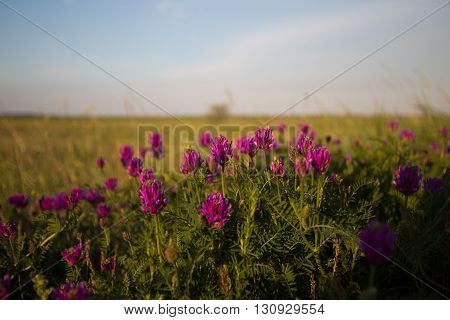 Wild pink flower on meadow at dawn