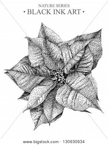 Illustration with flower Poinsettia drawn by hand with black ink. Graphic drawing pointillism technique. Floral element for design