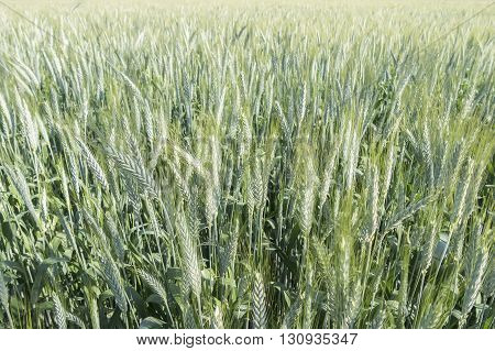 Unripe wheat ears green field under de sun