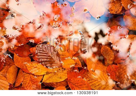 Fallen Beech Leves And Stones In Water Of Mountain River, First Colorful Leaves Bellow Mirror Water