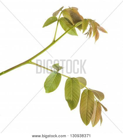 Walnut Leaves On A Branch. Isolated On White Background