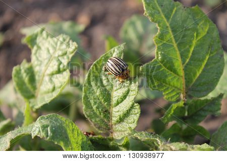 Colorado Potato Beetle (Leptinotarsa decemlineata) on potato bush