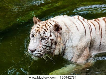 White tiger in water - animal background
