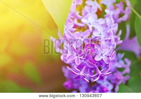 Pink lilac flowers in bloom - floral background with free space for text. Pastel and soft focus processing