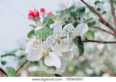 Apple flowers in spring blossom- spring floral background. Apple tree in the spring garden. Cold pastel tones applied.