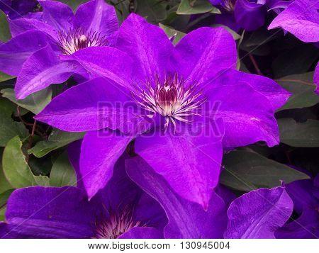 miriam flower violet blue blossom garden plant