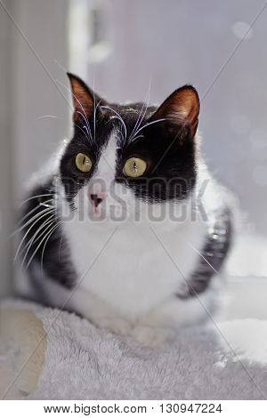 Portrait of the domestic black-white cat lit with the sun.
