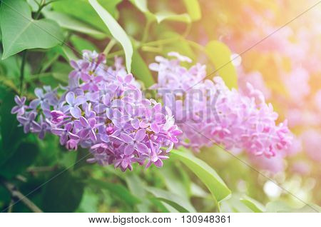 Pink lilac flowers in bloom under sunlight - floral closeup spring background. Pastel and soft focus processing