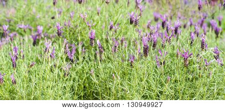 Lavender bush green with purple flowers closeup in selective focus