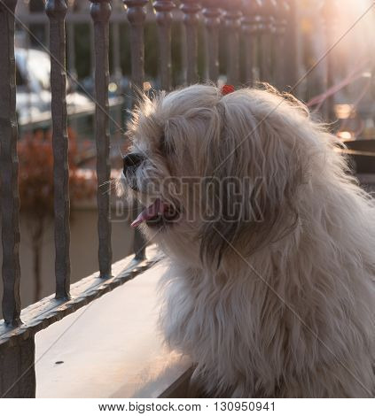 Shih tzu dog is sitting at balcony