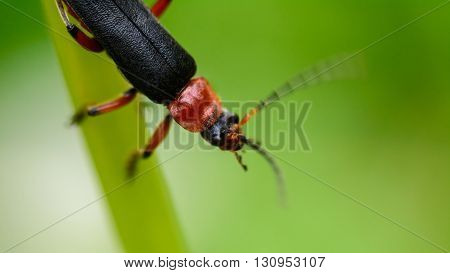 Small Beetle Crawling On A Blade Of Grass