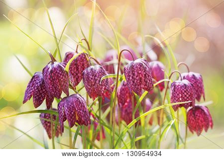 Early spring flower background (Fritillaria meleagris) in daylight.
