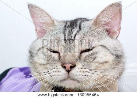 American shorthair cat is sitting and sleeping