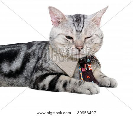 American shorthair cat with necktie and close one's eye. Isolated on white background with copy space
