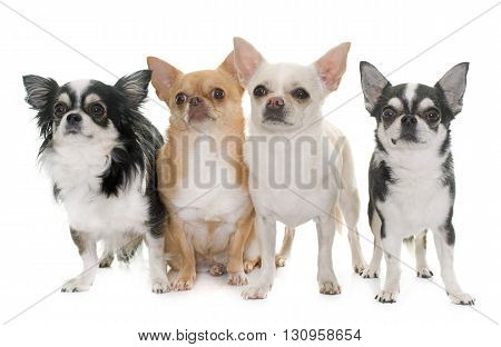 purebred chihuahuas in front of white background