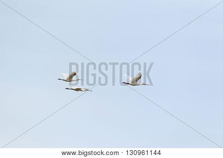 Flying spoonbills in blue sky