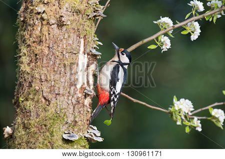 Great spotted woodpecker in tree trunk