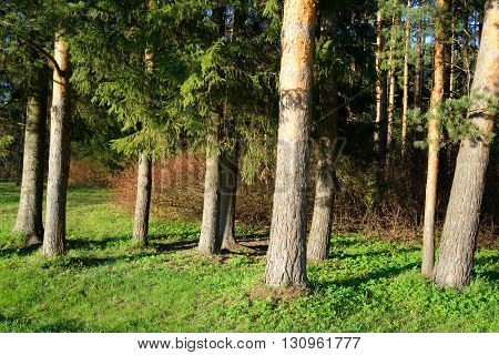 The photo of pine forest at spring sunny day.