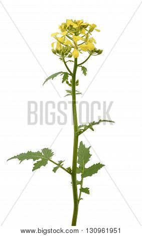 Mustard flowers isolated on a white background