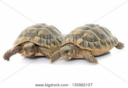 Testudo hermanni tortoise on a white isolated background