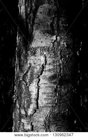 Bark of tree close up. Black and white.