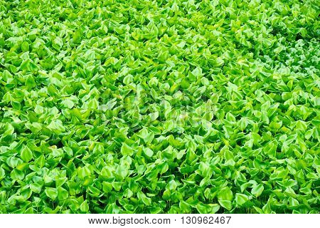 Water hyacinth (Eichhornia crassipes) green nature for background and texture