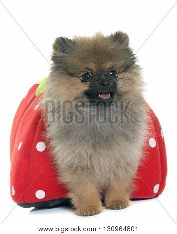 puppy pomeranian spitz in front of white background