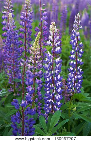 Field of purple lupine with green  leaves