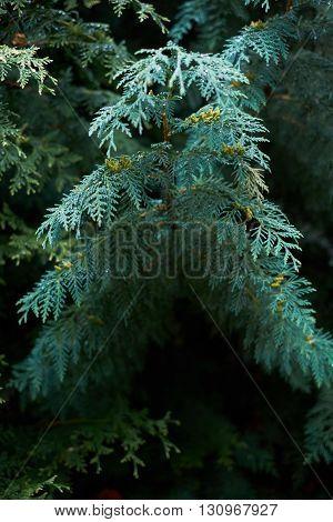 Big blue branch juniper with little dew
