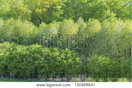 fresh green treetops at springtime in sunny ambiance