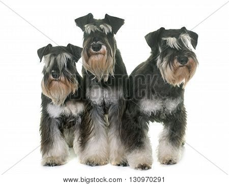 black and white miniature schnauzers in studio
