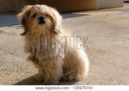 A shih tzu dog is under sunlight