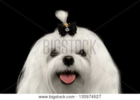 Closeup Portrait of Happy White Maltese Dog with tie Looking in Camera isolated on Black background