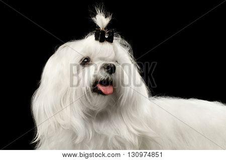Closeup Smiling White Maltese Dog Looking up isolated on Black background
