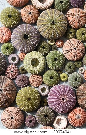 Top view of sea urchin shells of various sizes and colours