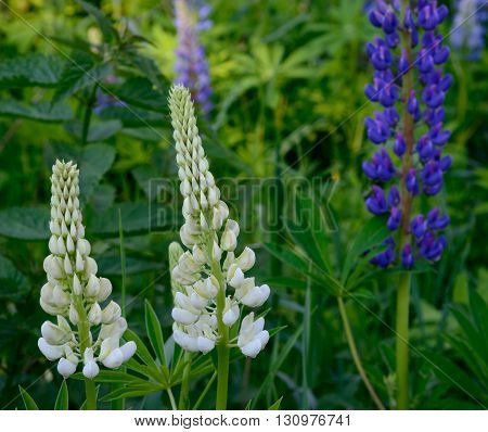 White and blue lupine flowers against green leaves background.