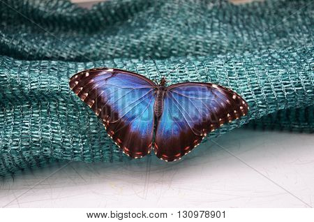 colorful blue morpho butterfly (Morpho peleides) on green background