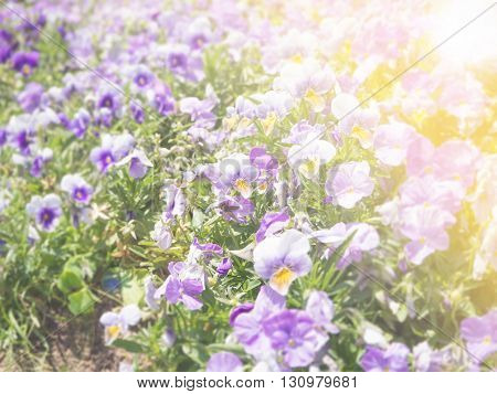 Pansy Viola tricolor flower with light warm filter
